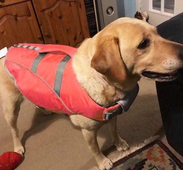 Labrador wearing K9 Aquafloat