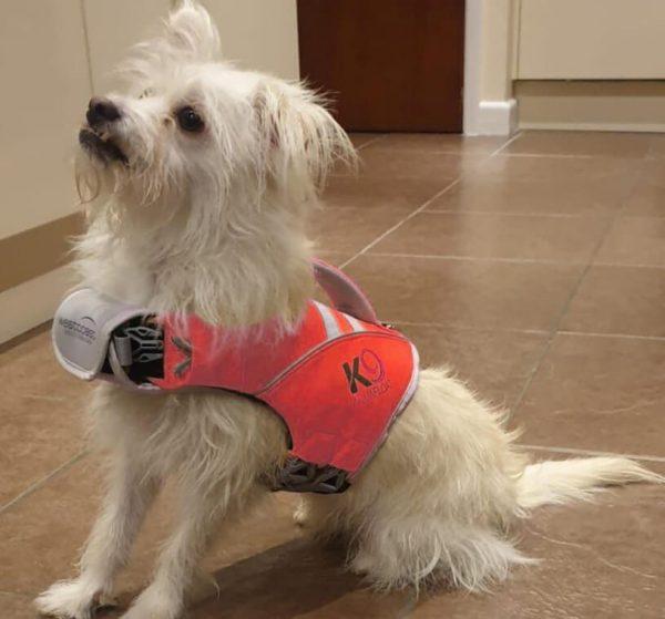 Small dog wearing red K9 Aquafit Life Jacket